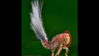 Unknown Troll Like Insect Discovered in South America