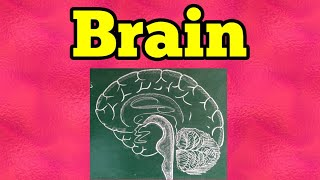 How To Draw Human Brain Class 10 Search On Easytubers Com Youtube