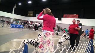 Jupiter-tequesta Kennel Club Dog Show: Dalmatians (west Palm Beach, Fl: 7/15/12)