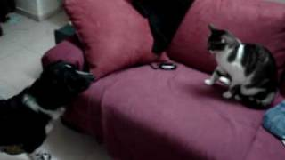 Pixel The English Springer Spaniel And  Chica The Cat Fight.mpg