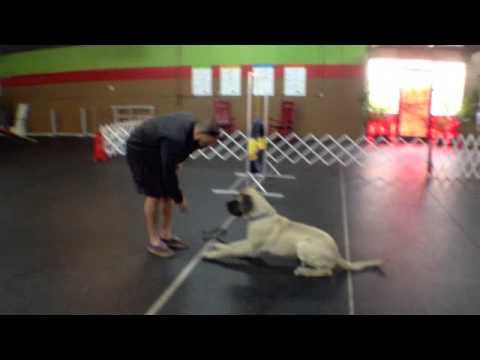 Training an american mastiff