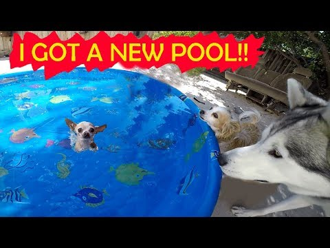Throwing My Dogs A Pool Party : Husky Confused Over Splashing Chihuahua
