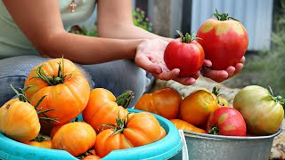 В августе поливаю томаты этим удобрением потом не знаю куда девать урожай! Помидоры подкормка август