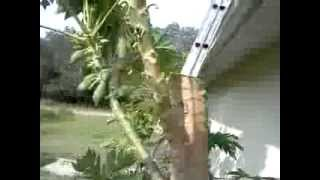 Papaya Tree trim 2
