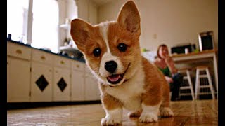 Как купить щенка корги дешевле?