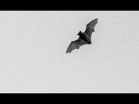 Bats - Nocturnal Mammals