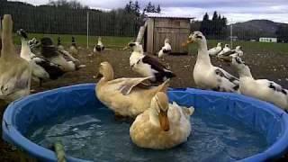 Saxony Ducks in the Kiddie Pool