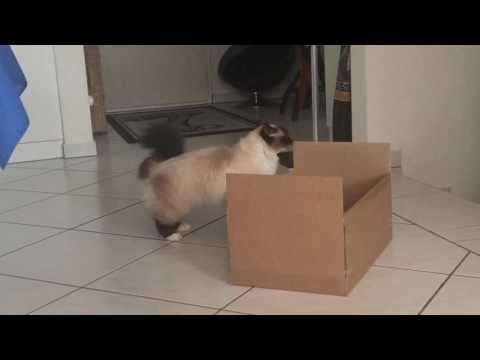 Birman cat Quazar dances with boxes