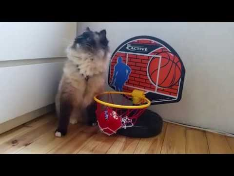 Ragdoll cat shows off impressive basketball skills