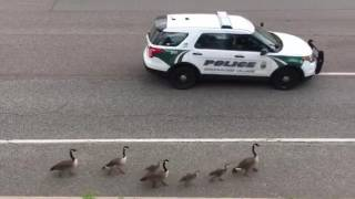 Geese getting an escort of the highway