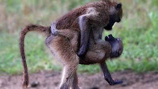 Life Of Gibbon M ating _ Gibbon Monkey Breeds Giving Birth And Playing With Baby Gibbon