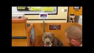 largest pitbull in the world, huge blue pitbull, large male pitbull, xxl bully pitbulls,