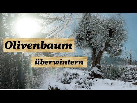 olivenbaum-überwintern-und-schützen