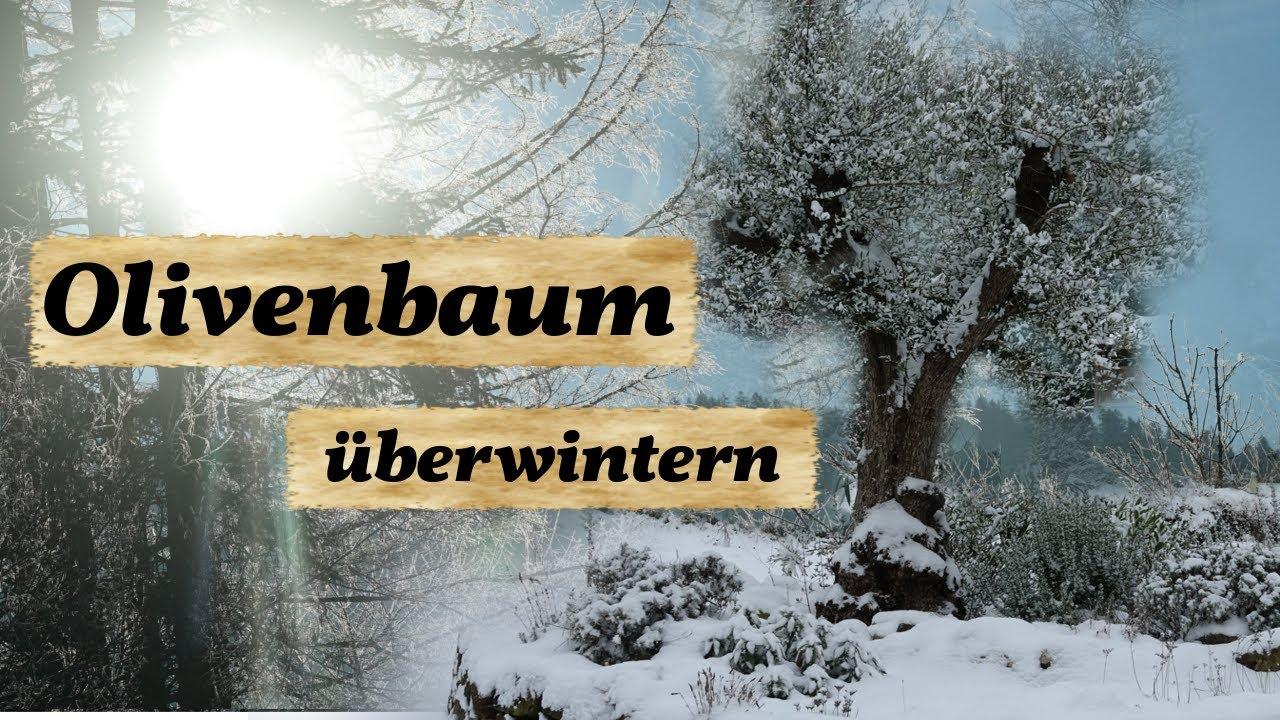 olivenbaum berwintern und sch tzen youtube. Black Bedroom Furniture Sets. Home Design Ideas