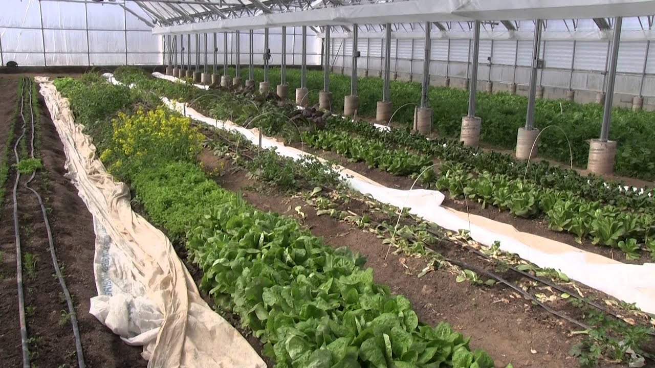 unusual cover crops in the greenhouse youtube