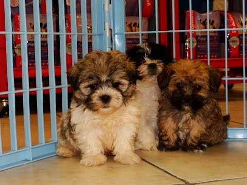 What are some rescues that offer Yorkie poo puppies for free?