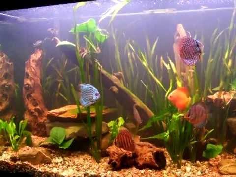 Stunning 100 Gal Discus Fish Tank (Aquarium)