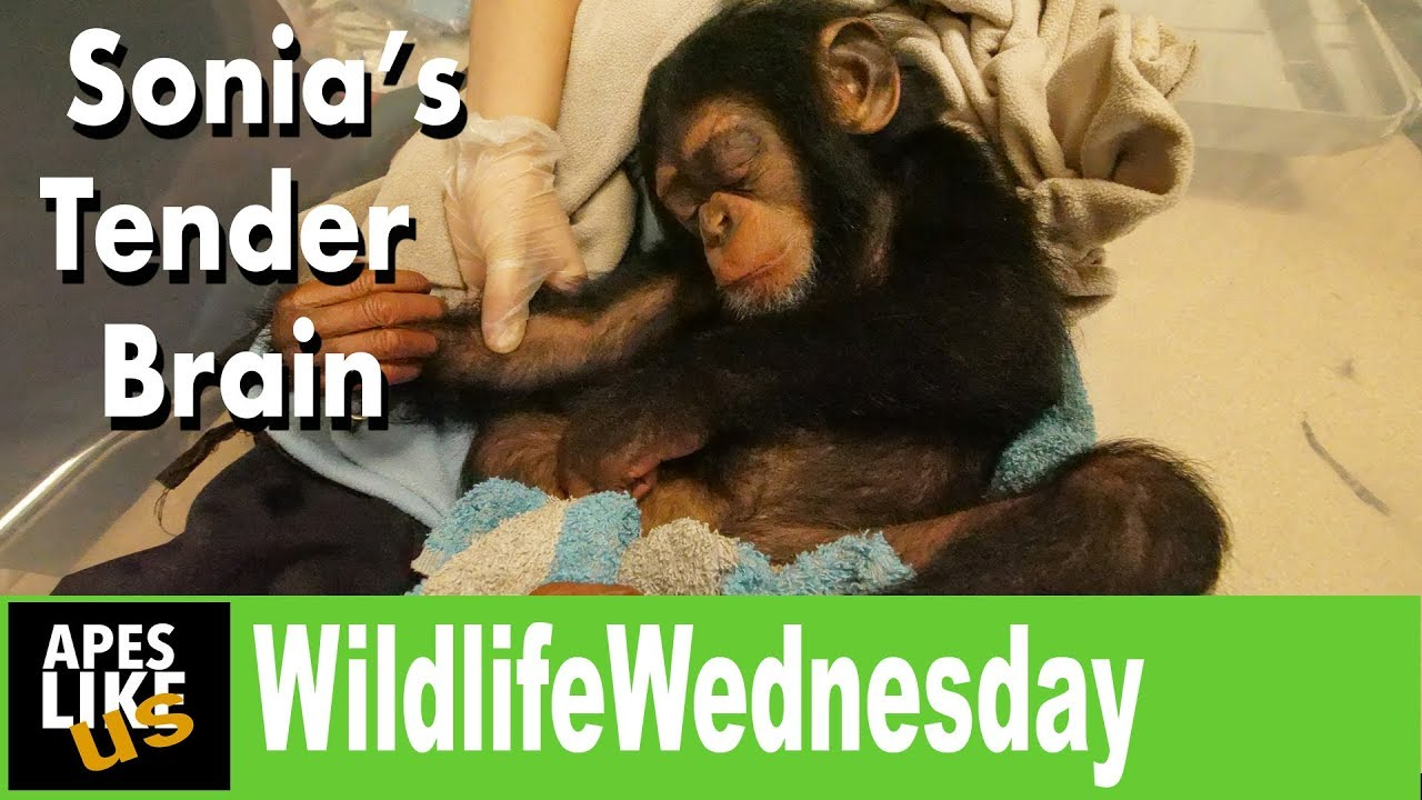Wildlife Wednesday - Baby Chimps Brain Scare