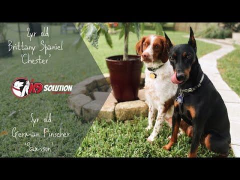 2YR OLD BRITTANY SPANIEL AND 5YR OLD GERMAN PINSCHER / DOG TRAINING