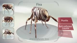 Bravecto's Flea Efficacy