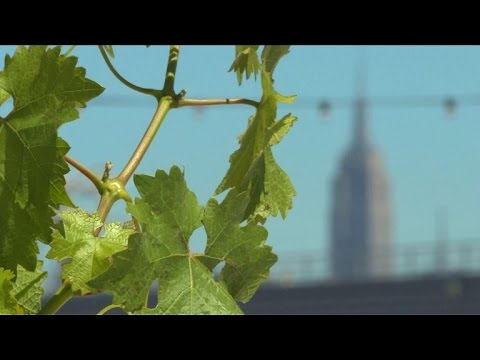 First 'rooftop vineyard' opens in New York City