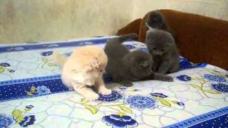 Приколы. Вислоухие котята играют.