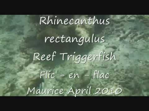 Rhinecanthus rectangulus Reef Triggerfish Mauritius 2010.wmv