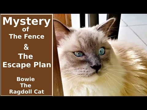 Mystery of The Fence and The Escape Plan | Bowie The Ragdoll Cat