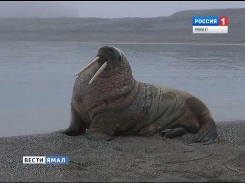 Ученые исследуют популяцию атлантического моржа