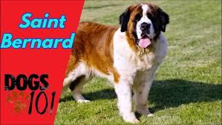 Dog 101  Saint Bernard