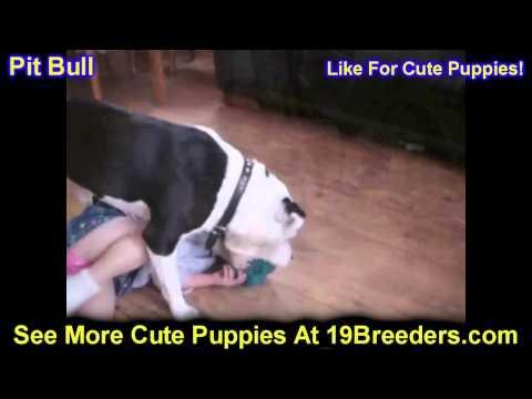 Pit Bull, Puppies, For, Sale, In, Gresham, Oregon, County, OR, Multnomah, Washington, Clackamas, Lan