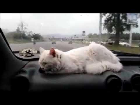 My Turkish Angora cat Billu Damtoo