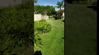 Coyote chased by Wag dog walker in Huntington Beach California