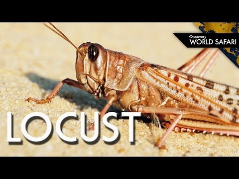 Locust Swarms Can Eat 423 Million Pounds a Day