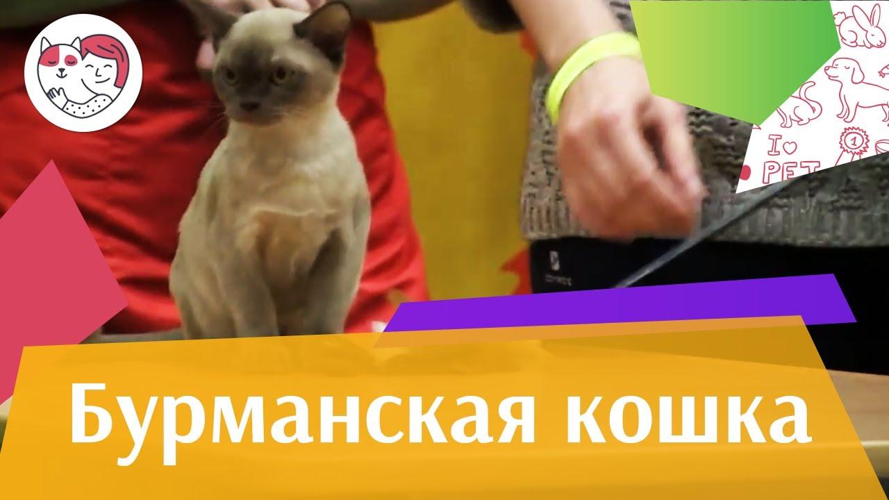 Бурма, или кошка с характером собаки. Питомник Oktarin. - YouTube