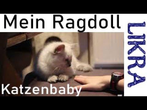 Likra -  Meine Ragdoll Katze Kommt