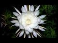 LUAR BIASA!! 9 Manfaat Bunga Wijaya Kusuma Untuk Kesehatan