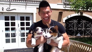 Corgi Puppies Get All The Attention - Life After College: Ep. 340