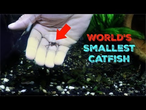 This Tiny Stone Catfish Is Amazing!!!