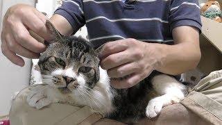 されるがままに遊ばれる猫リキちゃん☆猫を膝上に召喚【リキちゃんねる 猫動画】Cat video キジトラ猫との暮らし thumbnail