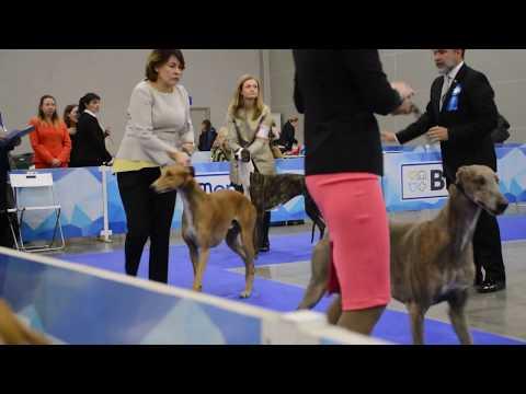 Eurasia-1. Greyhounds.