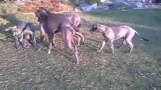 Vrh B - 12.11.2011 - Ii. Deutsche Doggen Welpen Zu Verkaufen! Great Dane Puppies For Sale!