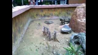 Сурикаты и кошка