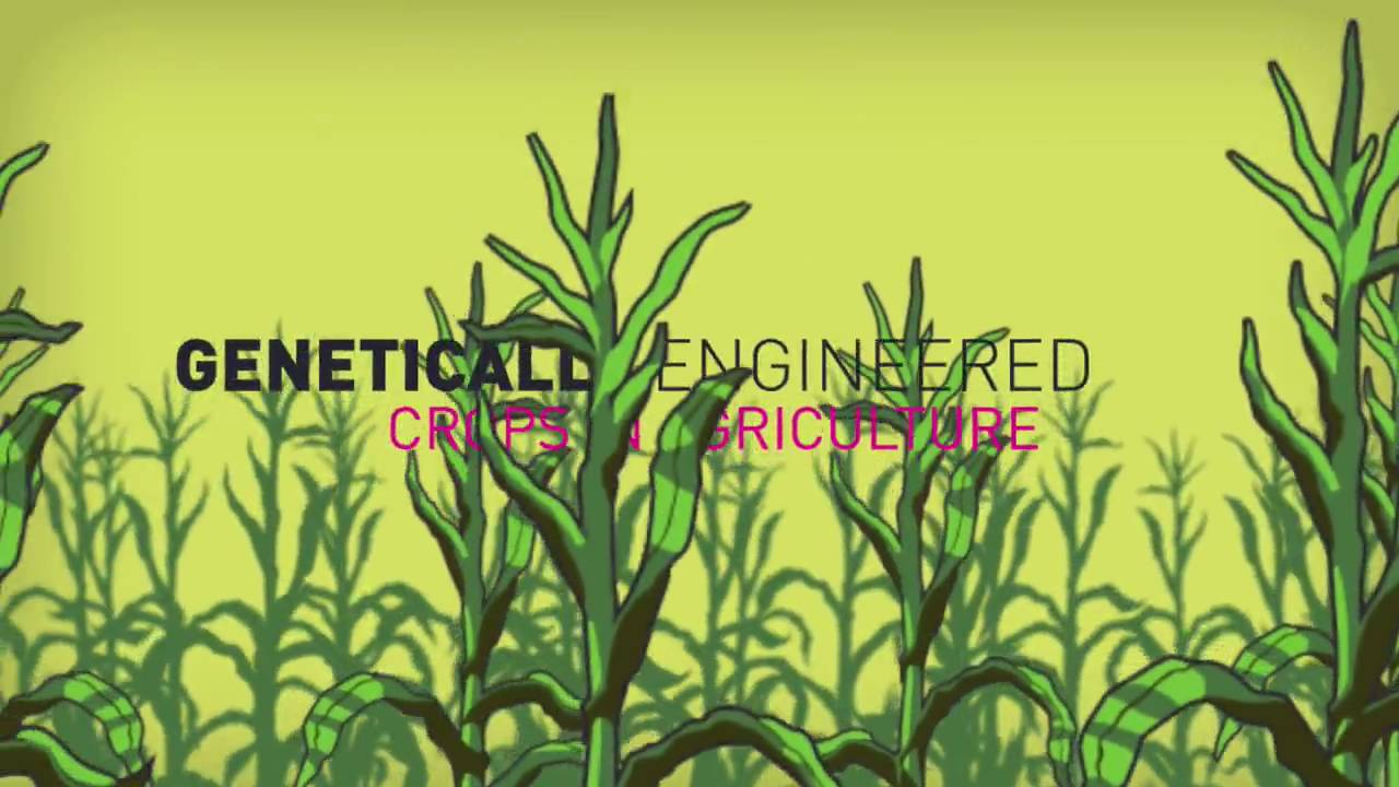 the effects of genetic engineering on agriculture And as more ge traits are developed and incorporated into a larger variety of crops, it's increasingly essential that we gain a better understanding of how genetic engineering technology will affect us agriculture and the environment now and in the future.