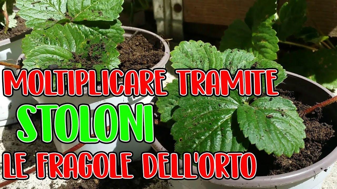 Download COME MOLTIPLICARE LE PIANTE DI FRAGOLE - TUTORIAL COMPLETO