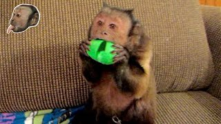 Capuchin Monkey Freaks Over Silly Putty