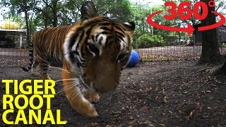Get an incredible look inside a tiger's mouth in VR thumbnail