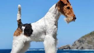 Wire Fox Terrier  Dog Breed  Pet Friend