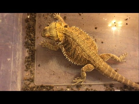 Bearded Dragon Roach Feeding Frenzy! Devouring Hundreds of Roaches!