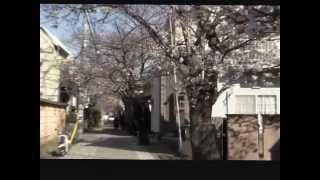 鎌倉桜だよりー源頼朝の墓までの「桜ロード」はおすすめ穴場ポイント.
